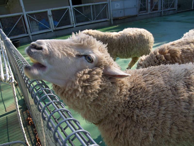 羊を数えると眠り誘うからくり。羊と睡眠。妄想牧場の群れは大群になり。鳴き声、メー。角つんつん、足とんとん、爪かきかき。かぶりものして、コスプレした人がいて