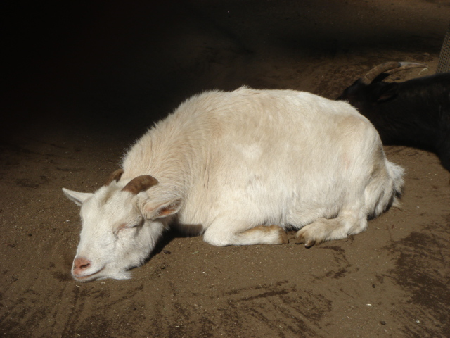 井の頭自然文化園にいた、眠たげなヤギ・画像写真