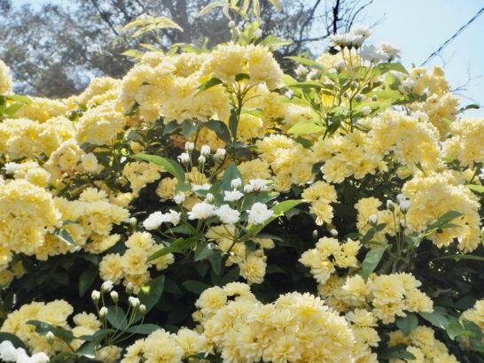 三寒四温と言う四字熟語が好きです。冬から春へと季節・時期は移って行き……