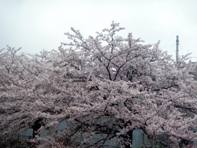 町田へ花見に行く。カラオケへ。団体で久しぶりに行ったところ、部長・上司キャラ、確立。『愛は勝つ/KAN』『硝子の少年/KinKi Kids』などの曲を歌う