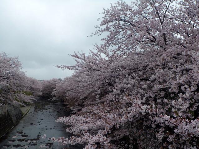 桜ソング・サクラな、名曲。おすすめといえば、槇原敬之『桜坂』、フジファブリック『桜並木、二つの傘』、スガシカオ『桜並木』など、5曲ご紹介【カラオケ】