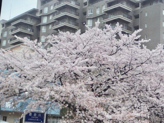 馬場状態。桜花賞と阪神競馬場と桜の開花と